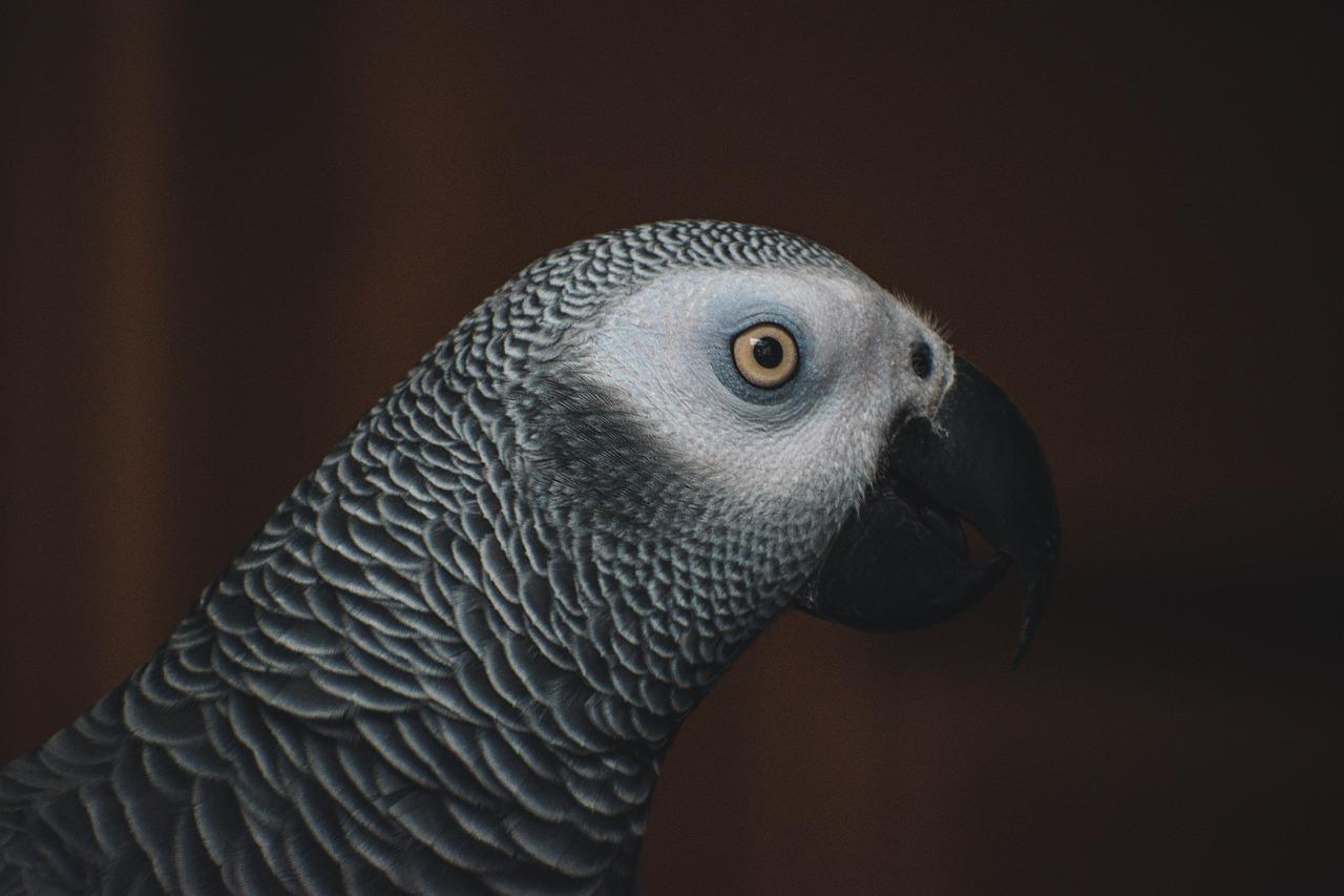 Żako sympatyczna i komunikatywna papuga, nie na każdą kieszeń!
